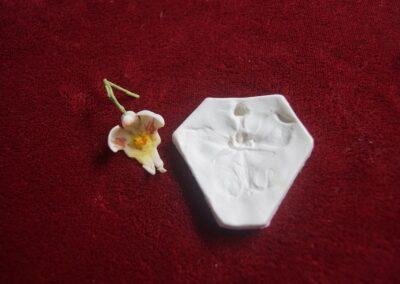 Miolo Phalaenopsis